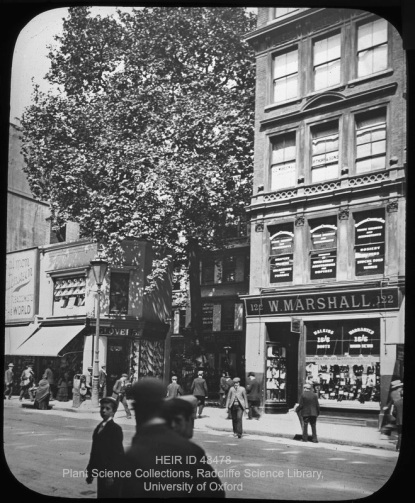 Plane Tree, Cheapside, London